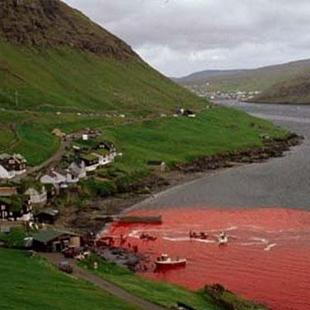 直击丹麦渔民屠杀海豚现场:鲜血染红整个海湾(组图)